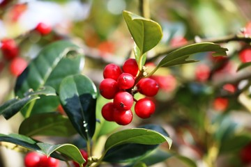 Holly Branch with red berries under blue sky