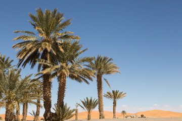 palm trees in the sand desert of Merzouga