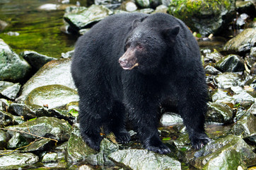 A Black Bear looking for fish in river,Vancouver Island, Canada