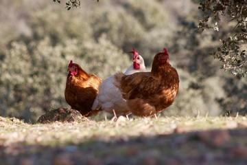 tres gallinas/libres en el campo