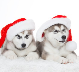 Animals. Two puppy Husky white isolated, Christmas hat!