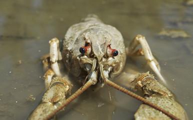 Danube crayfish