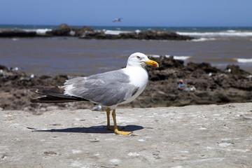 large flocks of Yellow-legged gull, Larus michahellis, Essaouira, Morocco