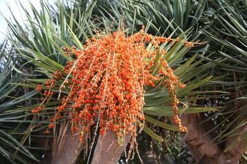 Dattelpalme Palme mit Früchten im Süden
