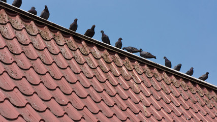 Pigeon on the roof.
