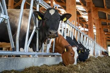 Kühe im Fressgitter, Neugebauter Rindviehstall