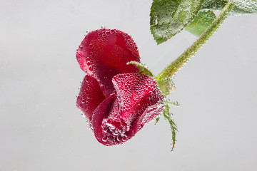 rose in the water on a white background