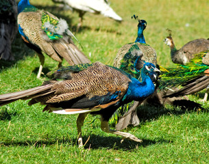 image of beautiful peacocks in the park closeup