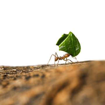 Leaf-cutter ant carrying leaf piece on tree log