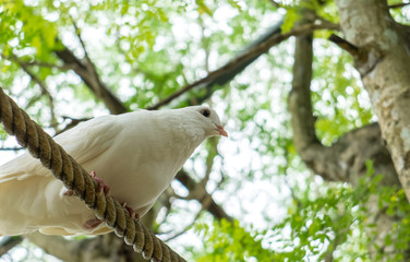 Ready to Start Concept, Single White Pigeon (Dove) on The Rope under Shadow of Big Tree Ready to Jump and Fly at The Corner with Copyspace to Input Text