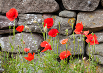 Poppies.  Poppies in front of a dry stone wall.