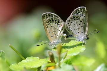 Two Little Grass Blue Butterfly Mating in Garden