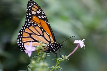 tropischer Schmetterling (Monarch)