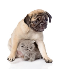Pug puppy with scottish cat sitting together. Focus on cat. isol