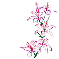 Lilies (Hemerocallis). Hand drawn vector illustration on white background