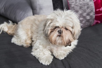 Cute puppy shi tzu dog lying on a sofa