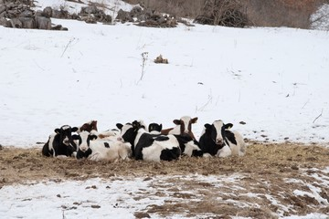 Resting Dairy Cows