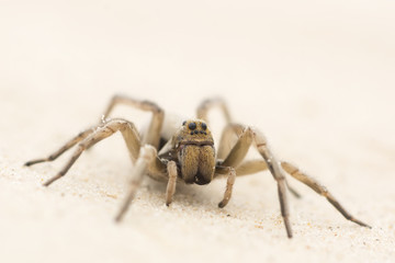 Wolf Spider in the sand in the desert of Texas