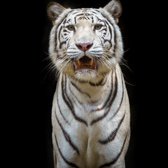 Close up white tiger.