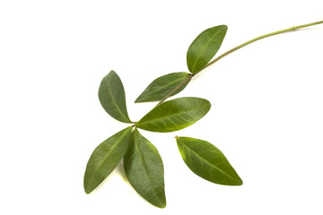 branch with green leaves periwinkle