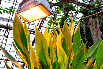 Canna Indica leaves under the lamp in the botanical garden