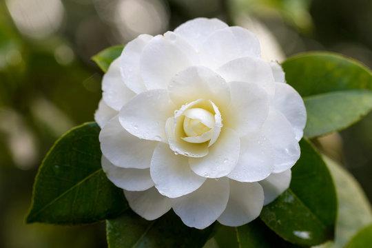 White Camellia Flower Macro
