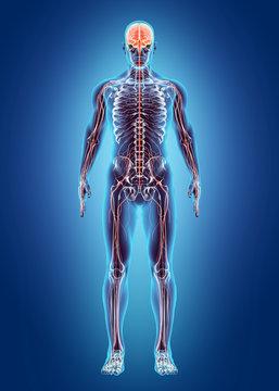 Human Internal System - Nervous system.