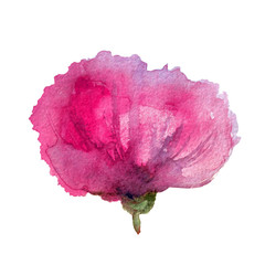 Poppy pink flower watercolor hand drawn botanical illustration isolated on white background, Floral design element for cards, invitation or wedding design,cosmetic, beauty salon