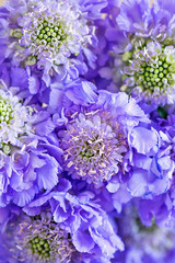 Scabious flowers close-up .Beautiful bouquet of purple flowers.