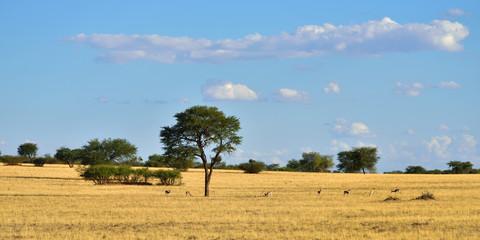 African wildlife, Kalahari desert, Namibia