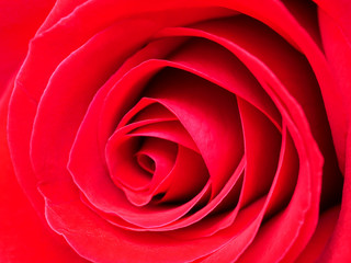 Close up red rose 8