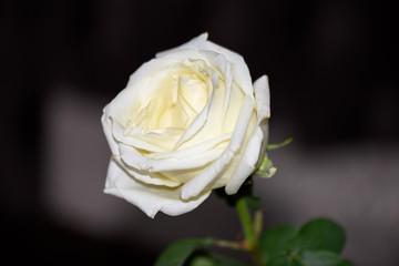 Single white rose on dark background, close up