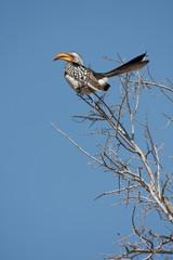 Southern Yellow-Billed Hornbil