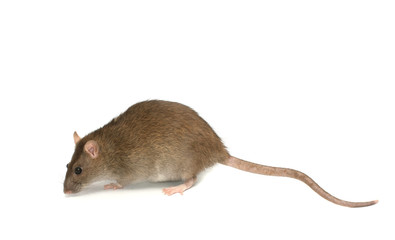 Gray rat with the long tail, isolated on the white