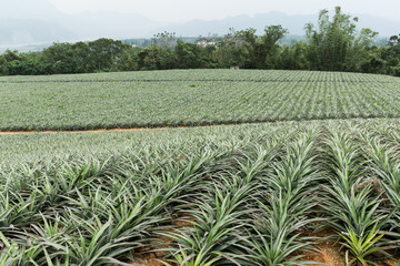 Pine apple field