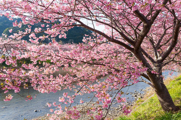 Sakura and river in japan