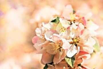 Apple blossoms - spring flower background