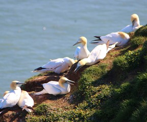 A close-up image of Gannets nesting on the Yorkshire coast.