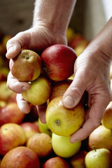 A family cider making business, A person sorting apples,