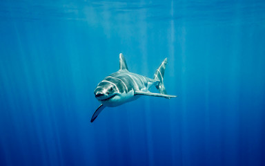 Great white shark going up to surface in the Pacific Ocean at Guadalupe Island in Mexico