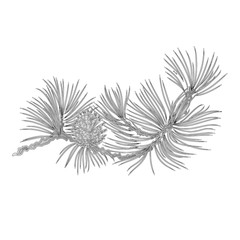 Pine branch and pine cones as vintage engraving  vector illustration