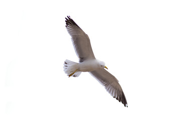 Seagull isolated in white background
