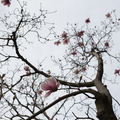 Japanese magnolia tree branches and flowers against a white sky (focus towards bottom)