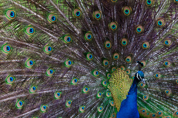 Close up image of a Peacock displaying tail feathers.