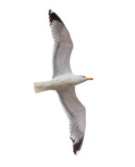 Seagull flying isolated in white background