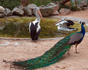 Pelicans and Peacock in Adelaide Australia