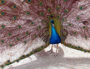 Peacock in the Mountains near Adelaide Australia