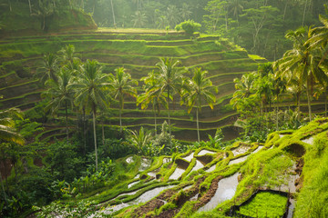 Printed kitchen splashbacks Bali Beautiful rice terraces in the moring light near Tegallalang village, Ubud, Bali, Indonesia.