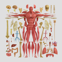 Human anatomy flat lay illustration of body parts. Warm tones on light background.
