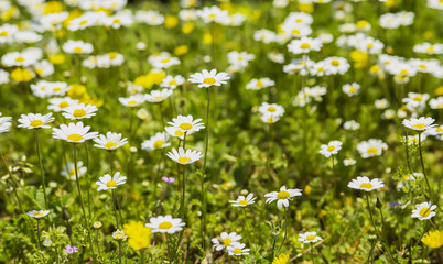 blurred background wallpaper green lawn with blooming white daisies